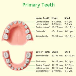 child primary teeth chart